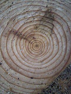 木の年齢 Age of tree