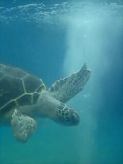 亀 Turtle