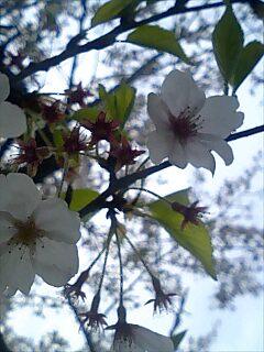 鎌倉の桜 Kamakura cherry