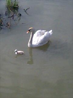 白鳥の親子 Swan family