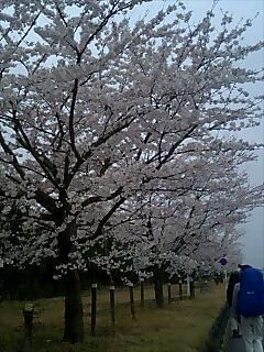 富士山のスソノは桜が満開 full bloom of cherry trees at foot hill of Fujiyama