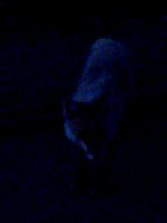 キタキツネ fox