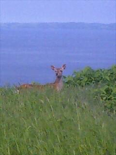 蝦夷鹿 ezo deer