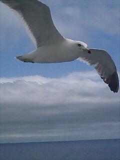 カモメ seagull