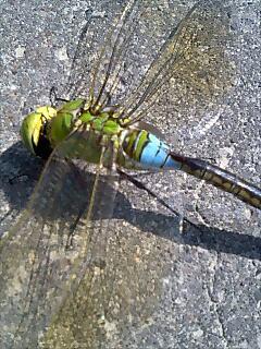 カラフルなトンボ coularful dragonfly