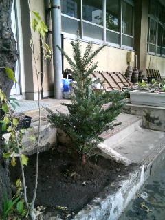 東京エフエムチャリティーのモミの木を植樹