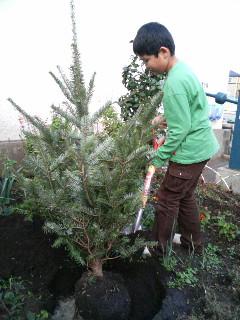東京の小学校にモミの木を植えよう。