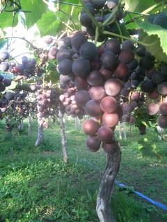 無農薬の果樹園