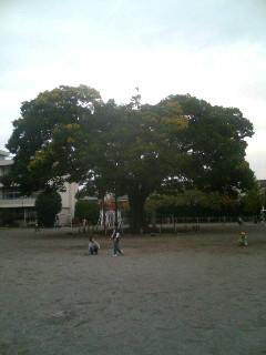 樹齢百年以上の榎(エノキ)