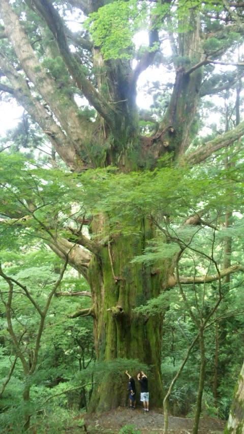 東海自然歩道で出逢った巨木
