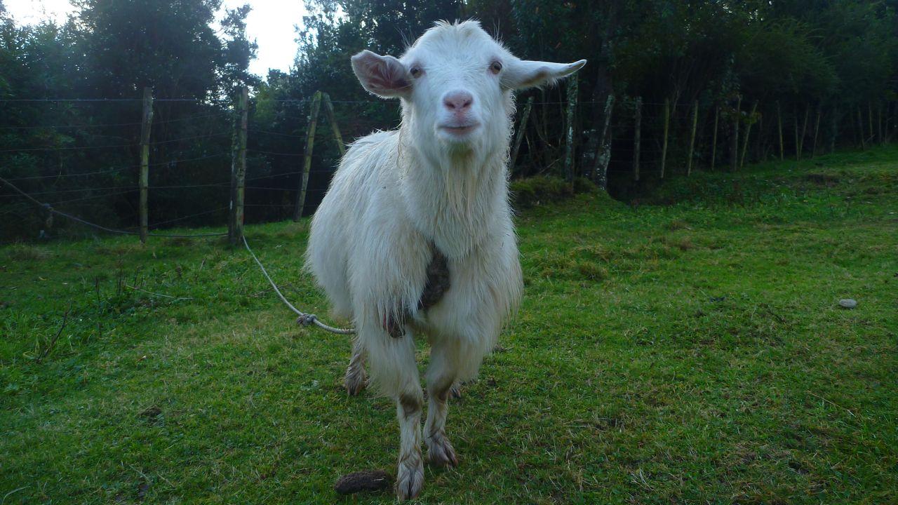 人っぽい顔のヤギ
